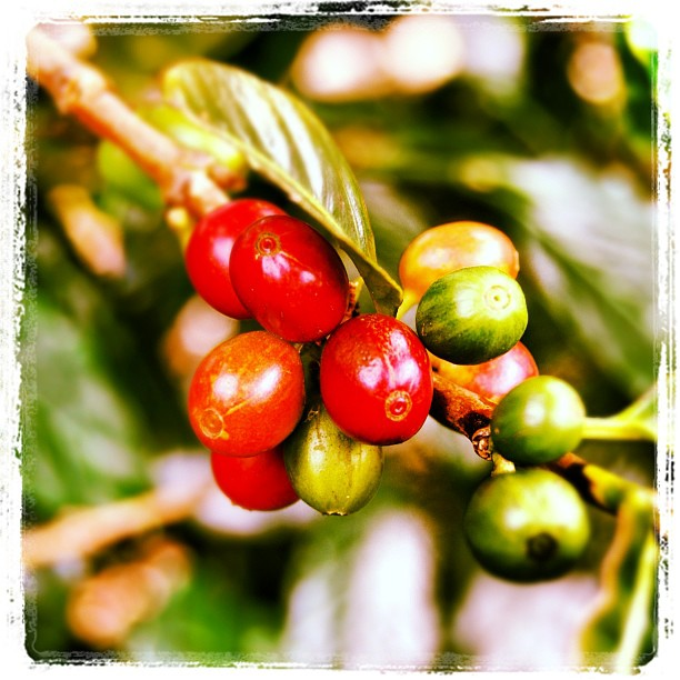 Costa Rican Coffee Farm- Starbucks Express