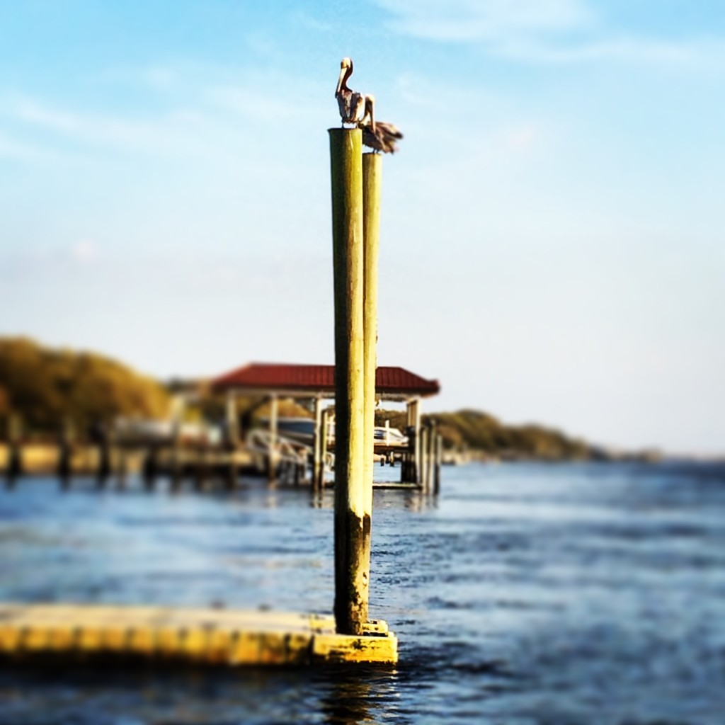 Pelicans, perfectly perched