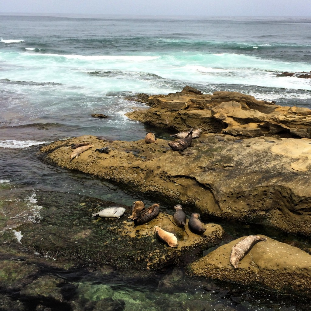 The Seals of La Jolla, CA