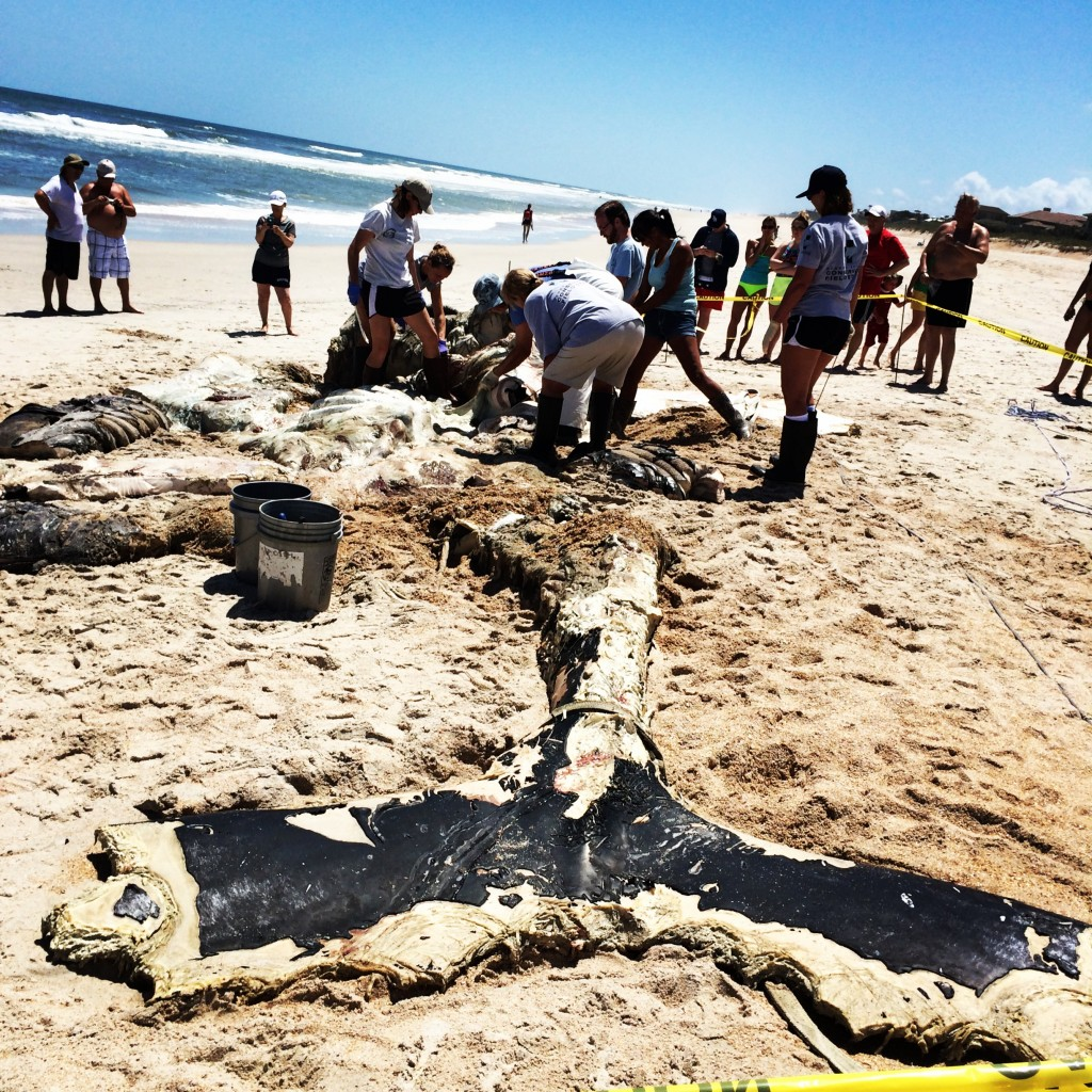 Right Whale remains, Ponte Vedra Beach, FL