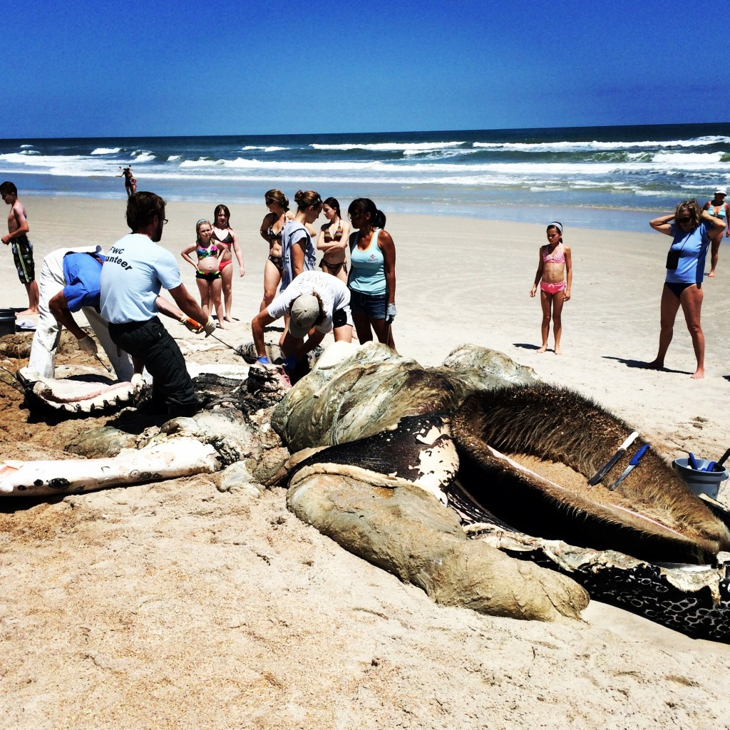 ight whale remains, Ponte Vedra Beach, FL
