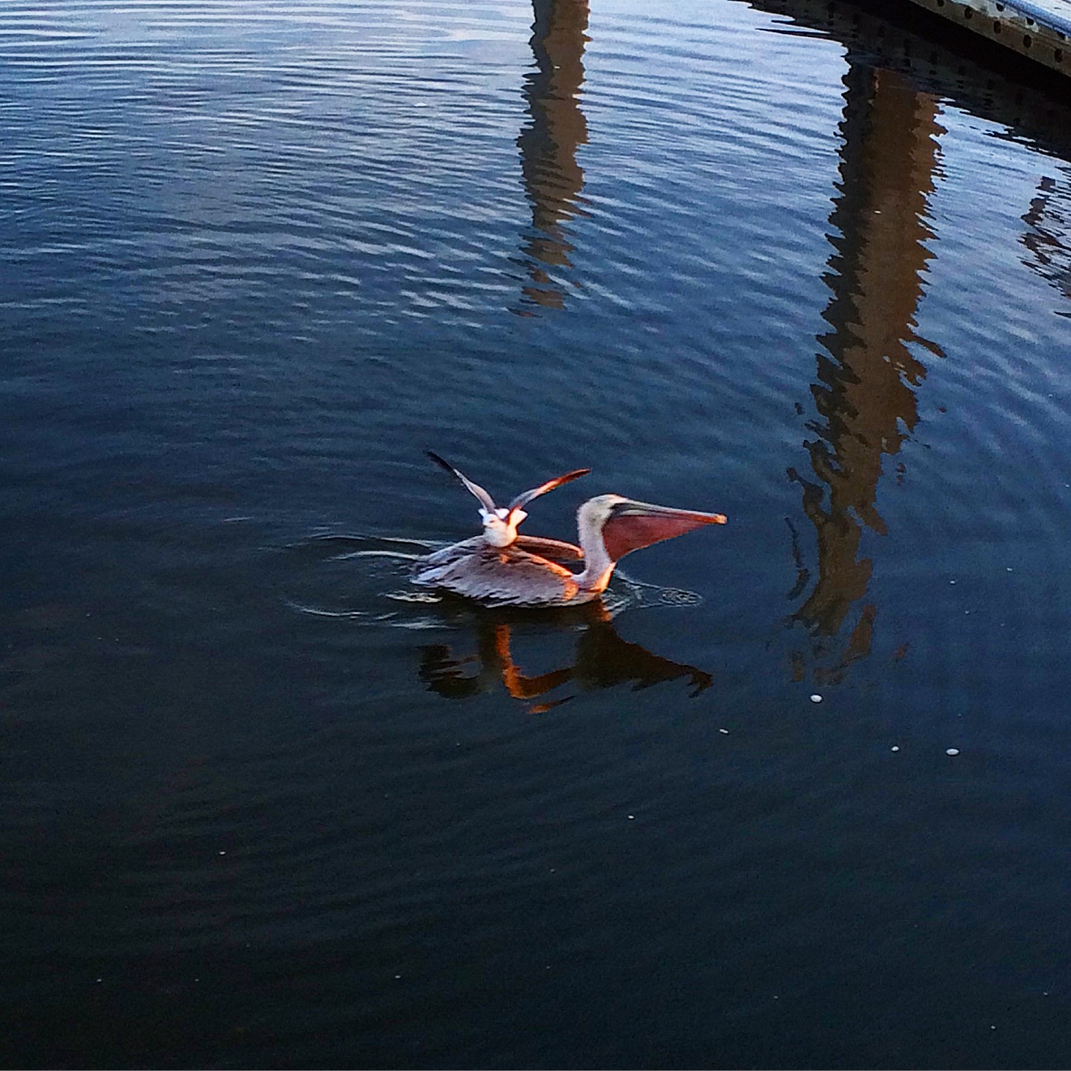 A small bird catches a ride on the back of an easy-going Pelican