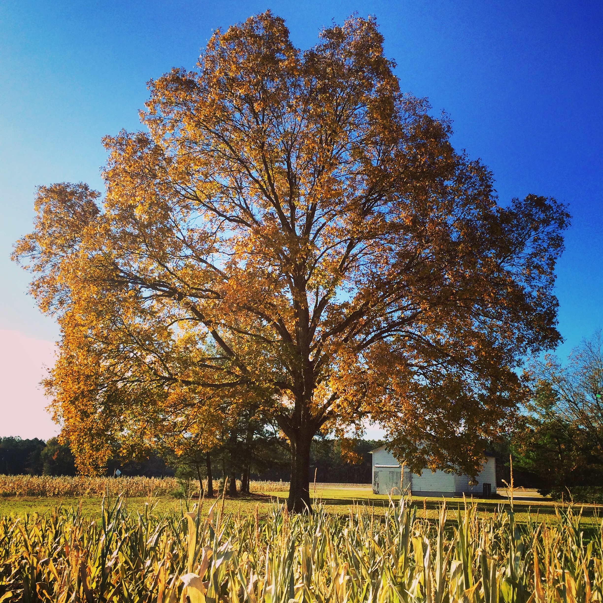 beautiful tree on South Carolina farm in fall