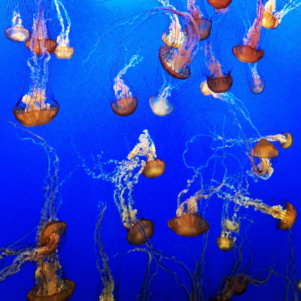 Jellyfish, Monterey Bay Aquarium Exhibit