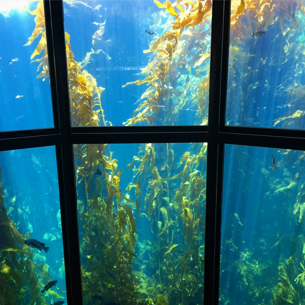 kelp bed observation window at the Monterey bay Aquarium