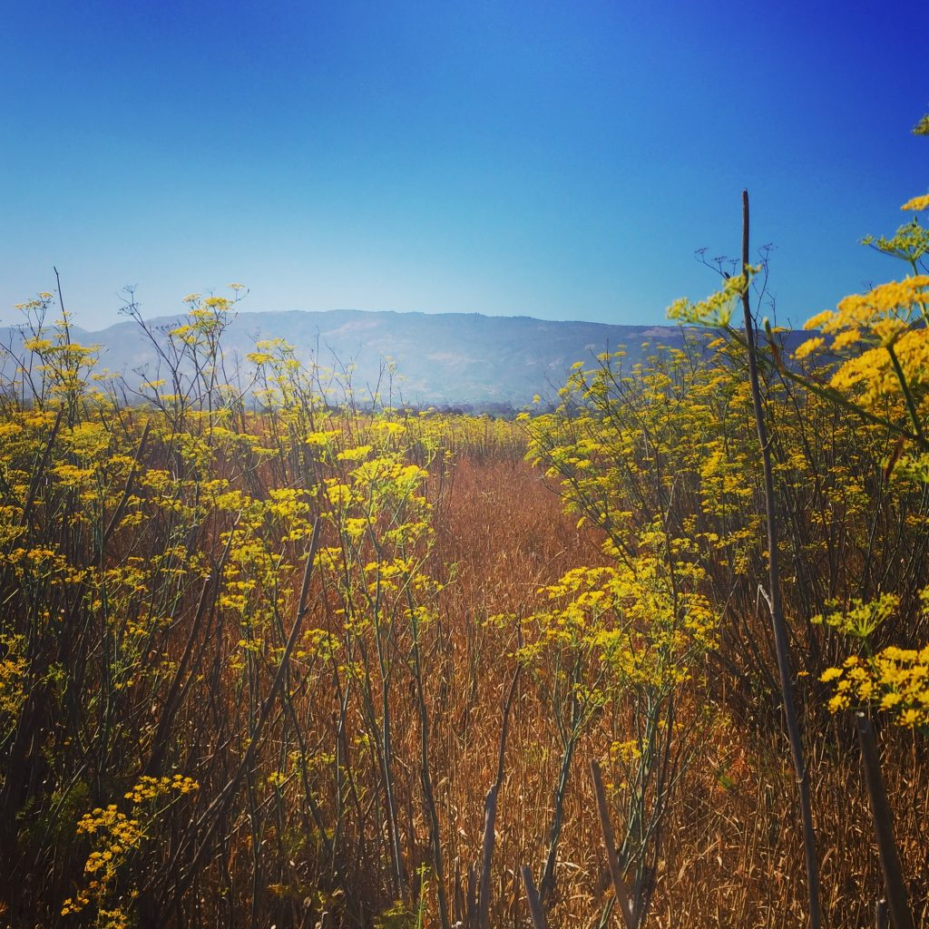 Wildflowers in Santa Barbara, CA