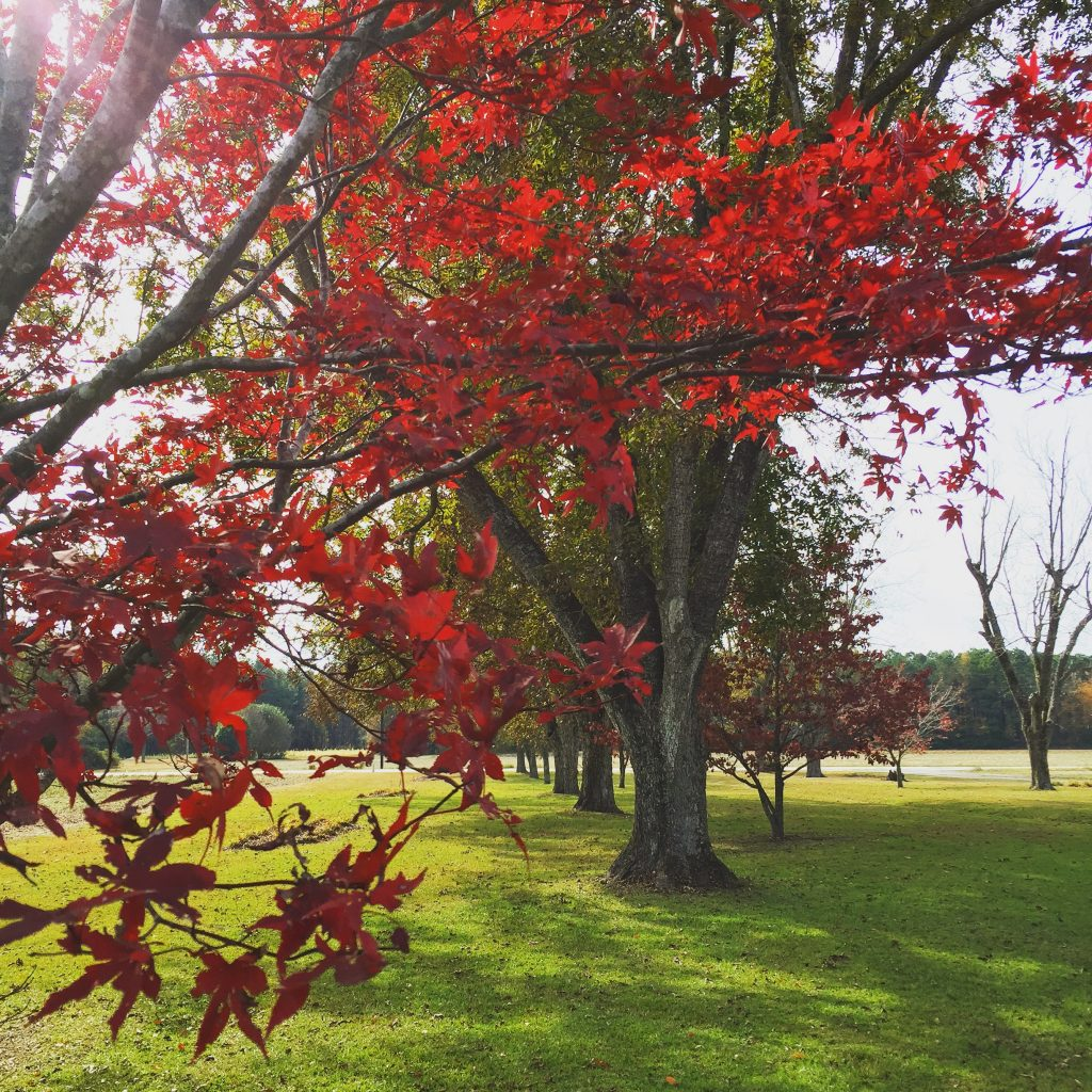 Green grass and red Maple trees