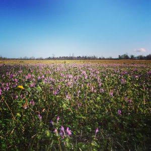 Spring Wildflowers, Hartsville, SC