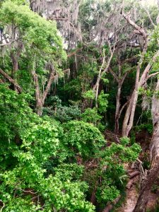 Forest Tree Canopy - Payne's Prairie