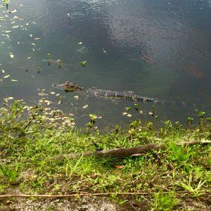Baby Gator, Florida