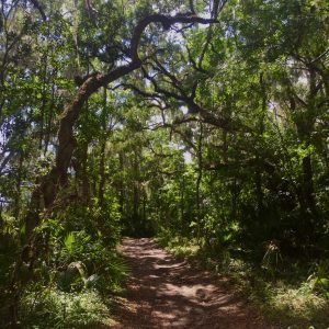 Payne's Prairie tree canopy
