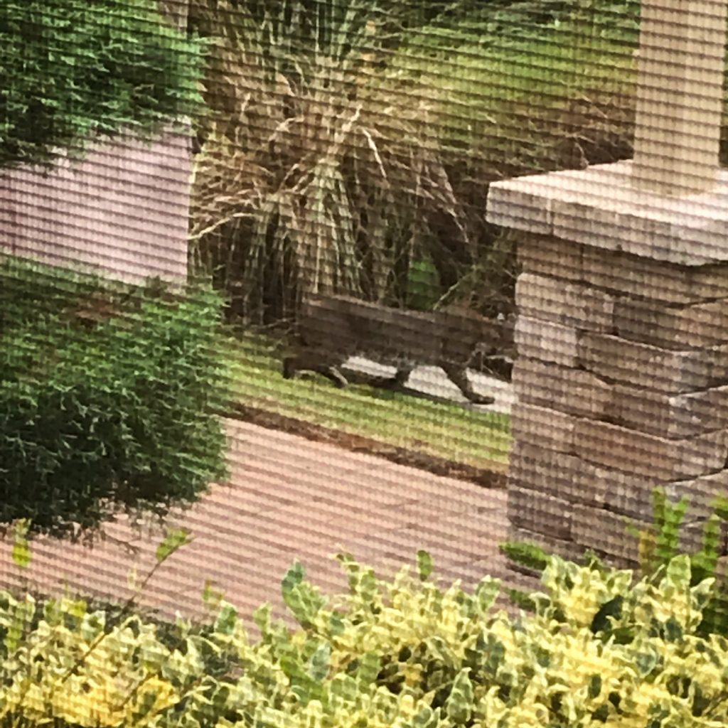 Bobcat behind home in residential neighborhood