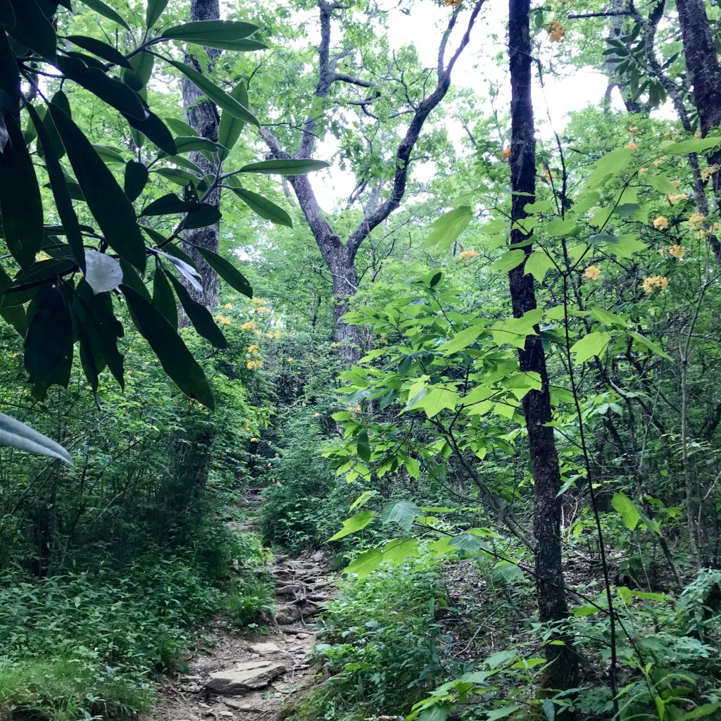 The beautiful forest trail through a bear sanctuary at Picken's Nose in North Carolina.