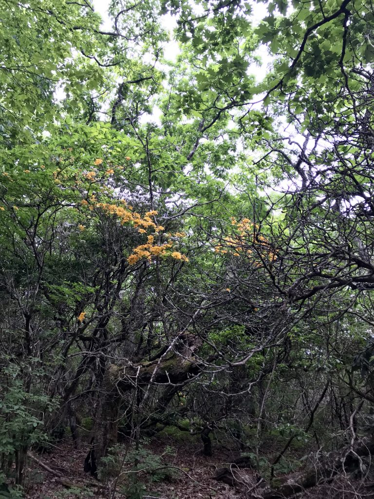 Beautiful yellow flowers along the thickly wooded path through the woods at Picken's Nose.