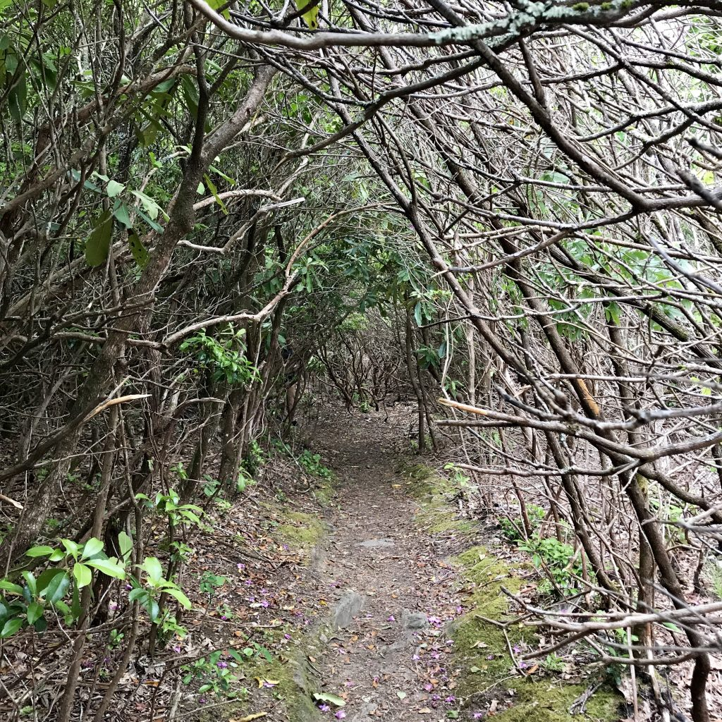 A interesting, dramatic path through a tunnel of thickets on the Picken's Nose trail in North Carolina