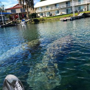 Two manatees in Crystal River